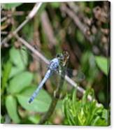 Blue Dragon Fly  Canvas Print