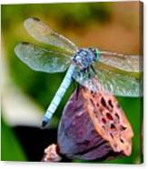 Blue Dragonfly On Lotus Seed Pod Back View Canvas Print