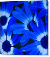 Blue Daisies, Medford Oregon Canvas Print