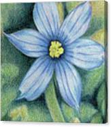 Blue Eyed Grass - 1 Canvas Print