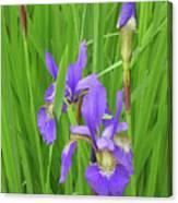 Blue Flag Iris-1  Canvas Print