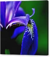 Blue Flag Iris Canvas Print