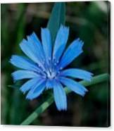 Blue Chicory Flower Canvas Print