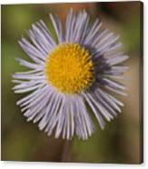 Blue Fleabane Canvas Print