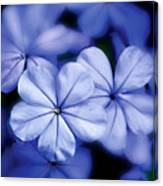 Blue Flowers Canvas Print