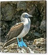 Blue Footed Boobie Canvas Print