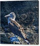 Blue-footed Booby Prize Canvas Print