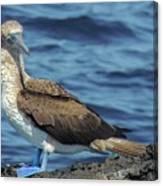 Blue-footed Booby  Puerto Egas James Bay Santiago James Island Galapagos Islands Canvas Print