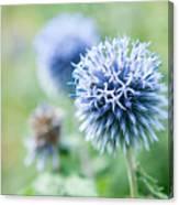 Blue Globe Thistle Flower Canvas Print