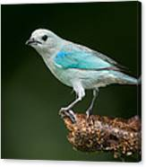 Blue-gray Tanager Thraupis Episcopus Canvas Print