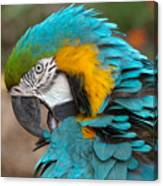 Blue-green-yellow Macaw Canvas Print