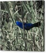 Blue Grosbeak At Rest Canvas Print
