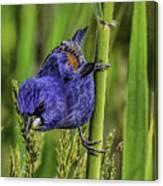 Blue Grosbeak On A Reed Canvas Print