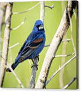 Blue Grosbeak Canvas Print
