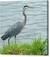 Blue Heron By The Lake Canvas Print