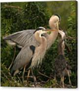 Blue Heron Family Canvas Print