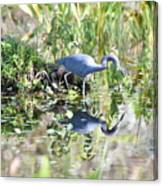 Blue Heron Fishing In A Pond In Bright Daylight Canvas Print
