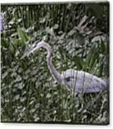 Blue Heron In Grass 4566 Canvas Print
