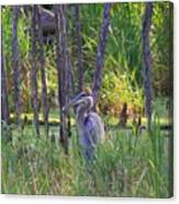 Blue Heron-in The Swamp Canvas Print