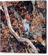 Blue Heron In Tree Canvas Print