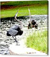 Blue Heron Mating Dance Canvas Print
