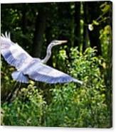 Blue Heron On The Move Canvas Print
