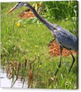 Blue Heron Scene Canvas Print