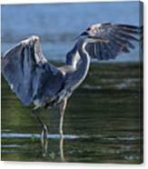 Blue Heron Show-off Canvas Print