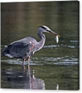 Blue Heron Snack Canvas Print