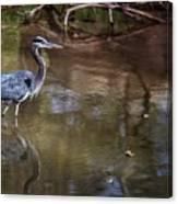 Blue Heron Stalking  Canvas Print