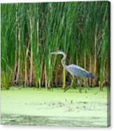 Blue Heron Taking A Walk Canvas Print