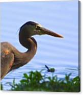 Blue Heron-the Profile Canvas Print