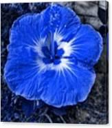 Blue Hibiscus Canvas Print
