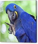 Blue Hyacinth Macaw Canvas Print