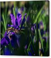 Blue Iris Field  Canvas Print