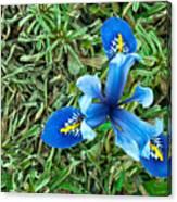 Blue Iris Hermodactyloides Canvas Print