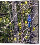 Blue Jay 2 Canvas Print