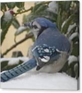 Blue Jay Beauty Canvas Print