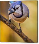 Blue Jay In Golden Light Canvas Print