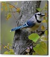 Blue Jay In Red Bud Canvas Print