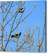 Blue Jay Mobbing A Crow Canvas Print