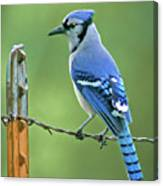 Blue Jay On The Fence Canvas Print