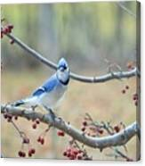 Blue Jay Poses In Crab Apple Tree Canvas Print