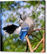Blue Jay Preening Canvas Print