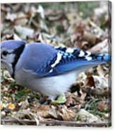 Blue Jay With A Full Mouth Canvas Print