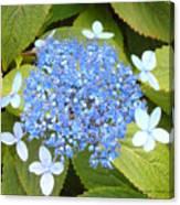 Blue Lacecap Hydrangeas Canvas Print