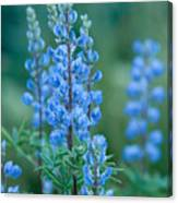 Blue Lupine In The Tetons  Canvas Print