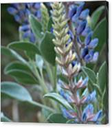 Blue Lupine Canvas Print