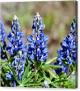 Blue Lupines Canvas Print