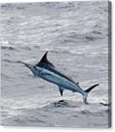 Blue Marlin At Oregon Inlet North Carolina Canvas Print